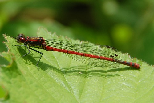 large red damselfly on blackberry leaf