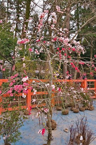 【写真】2013 桜 : 上賀茂神社/2020-09-09/IMGP9509