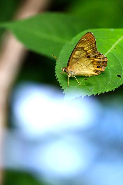 アジサイの葉にとまるオオヒカゲ