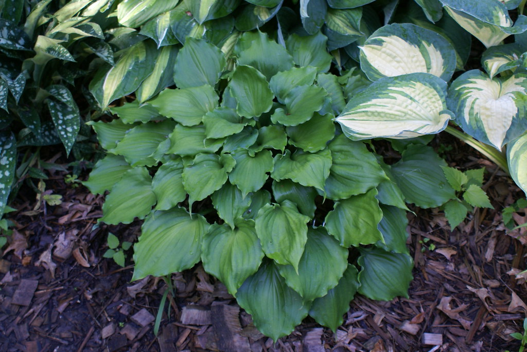 Hosta 'Candy Dish' (11)-002