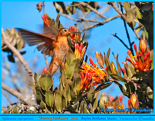 ecuador hummingbird sunbeam colibri picaflor pichincha chupaflor yanacocha ecuadorbirds shiningsunbeam aglaeactis aglaeactiscupripennis southamericahummingbirds ecuadorhummingbirds shiningsunbeamhummingbird volcánpichincha peterwendelken hummingbirdphotobypeterwendelken ecuadorphoto yanacochahummingbirds oldnonomiindoroad viejocaminoanono shiningsunbeamphoto shiningsunbeammale shiningsunbeaminecuador rayitobrillante rayodesolbrillante