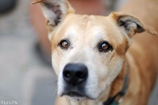 The gallery for --> Dog Breeds A Z - photo#8