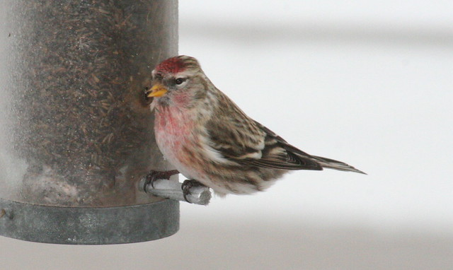 common redpoll 03