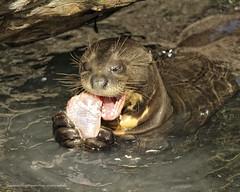 Otter Eating Sushi