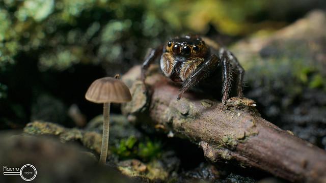 Spider- Hasarius adansoni ♀