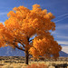 Cottonwood in fall by bertdennisonphotography
