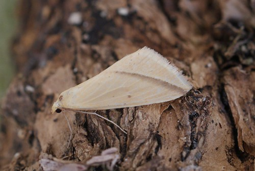 Vestal (Rhodometra sacraria)