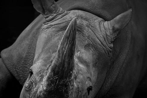 Rhino - Woburn - March 2011