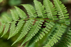 branch, leaf, plant, macro photography, flora, green, ostrich fern, close-up, ferns and horsetails, plant stem,