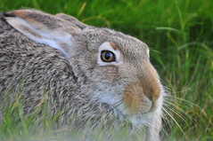prairie(0.0), animal(1.0), hare(1.0), grass(1.0), rabbit(1.0), domestic rabbit(1.0), pet(1.0), nature(1.0), fauna(1.0), wood rabbit(1.0), close-up(1.0), whiskers(1.0), grassland(1.0), rabits and hares(1.0), wildlife(1.0),