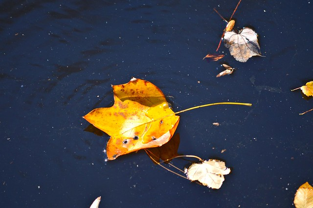 Yellow leaf on the water