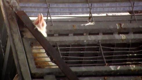 זוגלובק - ראשו של תרנגול תקוע ללא יכולת לזוז