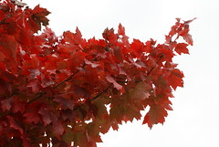shrub(0.0), flower(0.0), red(0.0), rowan(0.0), autumn(0.0), maple tree(1.0), branch(1.0), leaf(1.0), tree(1.0), maple leaf(1.0),