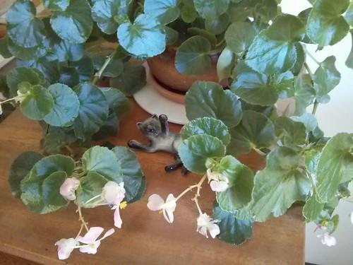 Kath's Begonia