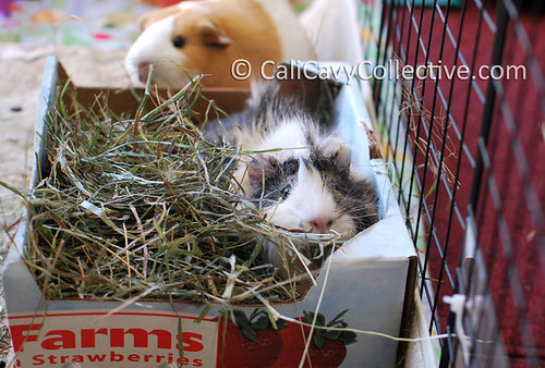 Guinea pig Poof nestled in hay box toy