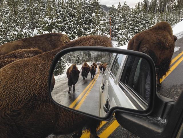 Bisontes americanos (Bison bison) en la carretera. Parque nacional de Yellowstone. Estados Unidos.