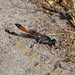 Small photo of Ammophila species