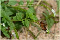 Elada Checkerspot Texas Butterfly photography by Ron Birrell, DSC_8652