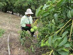 陳奕蓁的芒果園。(圖片來源:慈心有機農業發展基金會)