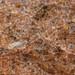 Hemisotoma thermophila