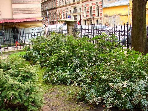 Broad leaf evergreens in Riga centre - Mahonia aquifolium by aigarsbruvelis