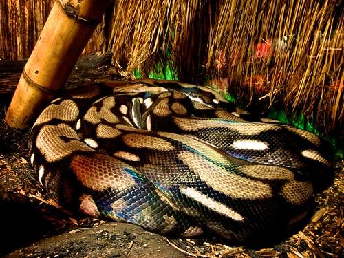 zoo myrtlebeach snake southcarolina python reticulated alligatoradventure
