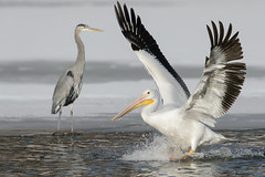Pelican and Heron_42719.jpg by Mully410 * Images
