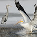 Pelican and Heron_42719.jpg