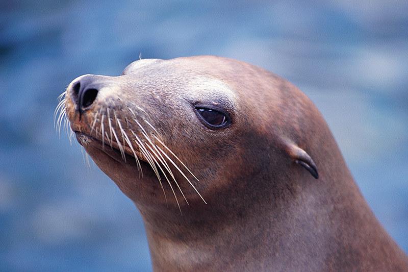 Wildlife in British Columbia, Canada: California Sea Lion