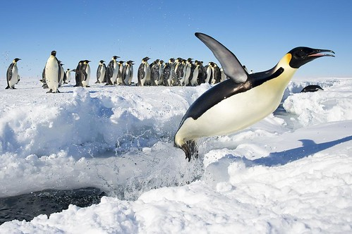 Emperor Penguins of Gould Bay by Christopher.Michel