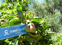 20140117_KapiolaniCC-CactusGarden_Pereskia-maybeGrandiflora_Cutler_P1630603