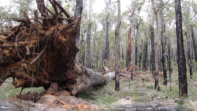 Day 21: Fallen Tree near Virgin Jarrah