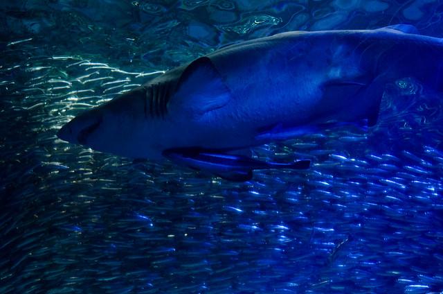 シロワニ Sand tiger shark