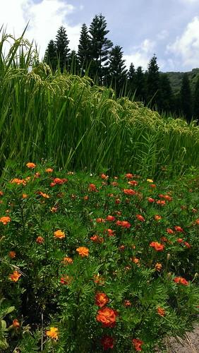 水稻田埂種植菊科植物營造天敵的家(圖片來源:花蓮農改場)