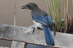 crow(0.0), blue jay(0.0), jay(0.0), crow-like bird(0.0), animal(1.0), wing(1.0), fauna(1.0), bluebird(1.0), blue(1.0), beak(1.0), bird(1.0), wildlife(1.0),