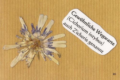Gewöhnliche Wegwarte Cichorium intybus Mannheim Natur Kurpfalz Pflanze Wildpflanze blühen Blüte Foto Brigitte Stolle