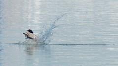Pelican diving 0185_ADSC_0985