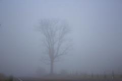 Black Walnut Tree, Autumn Fog