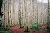 Bosque de las Hayas,  (Ordesa) Huesca.