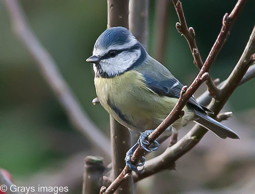 A Blue Tit | by grays images