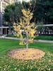 Ginkgo tree at CSULB