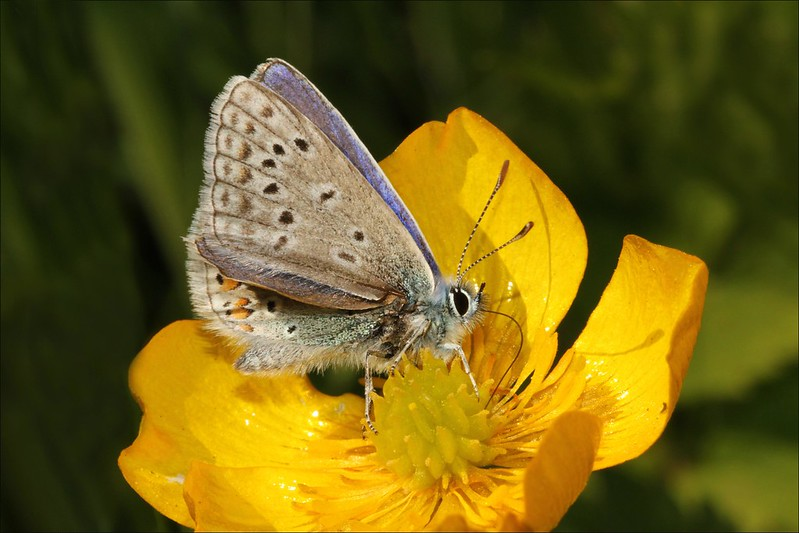 Common Blue Butterfly on Buttercup