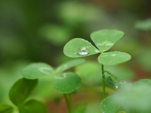 """Trèfle """"Trifolium bifidum"""" @Mon jardin"""