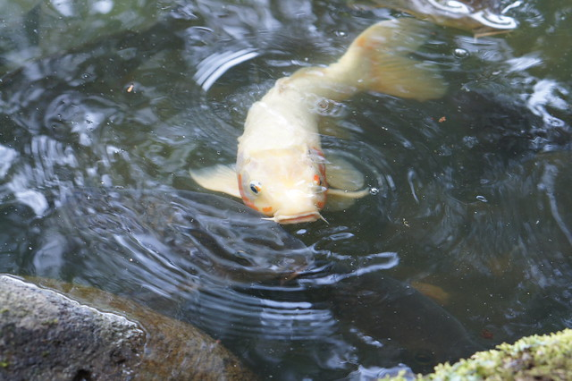 Carp definition meaning for Carp meaning