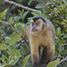 Black-capped Capuchin