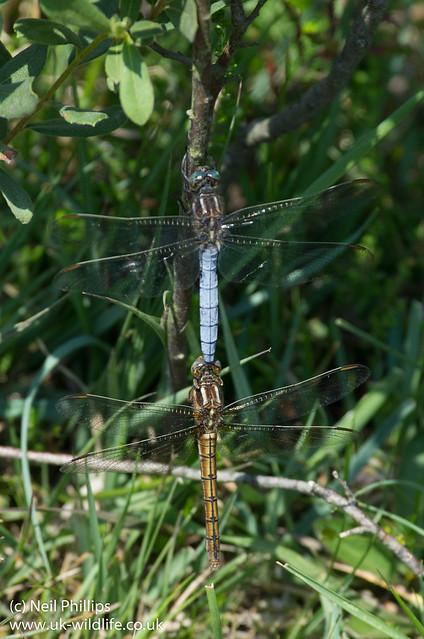 Tandem keeled skimmer dragonflies Orthetrum coerulescens