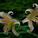 Gold banded lily / Lilium auratum lindl. / ヤマユリ by k_keiko