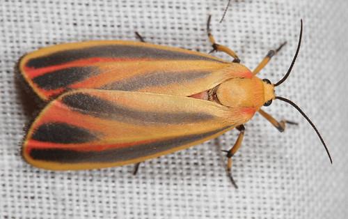 insect nc moth july northcarolina lepidoptera fieldtrip arctiinae coastalplain eol bmna erebidae canonefs60mmf28macrousm hypoprepia paintedlichenmoth hypoprepiafucosa medocmountain taxonomy:binomial=hypoprepiafucosa medoc20130710