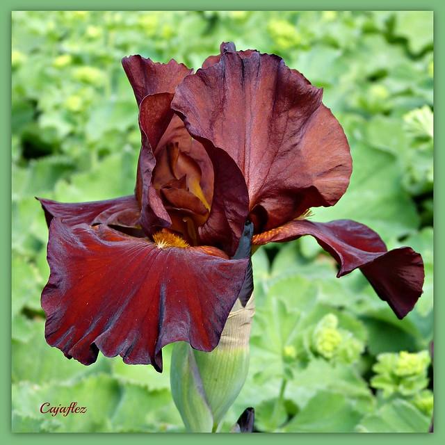 Iris (brown/red)