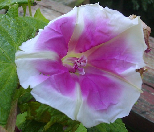 Ipomoea nil Fujie's Lavender Youjiro with Tube Flags by Gerris2
